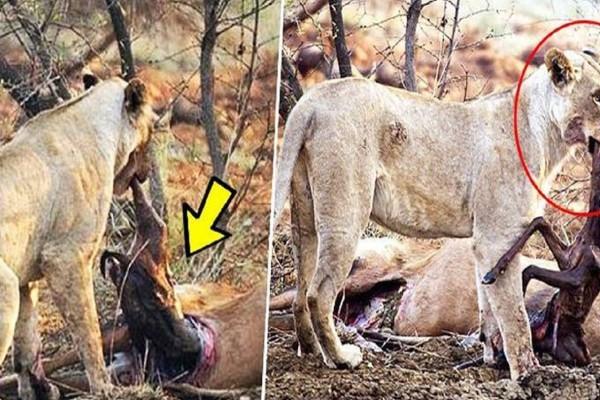 Λιοντάρι ανακαλύπτει ότι το ελάφι που μόλις έφαγε ήταν έγκυος, αυτό που κάνει στη συνέχεια ξεπερνάει κάθε λογική