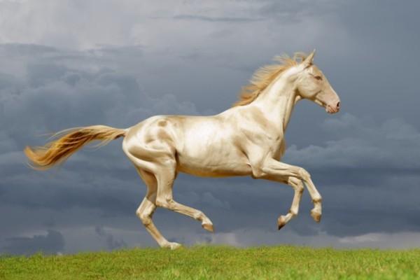 Το σπάνιο άλογο που θεωρείται το ωραιότερο στον κόσμο. Μοιάζει σαν να είναι από χρυσάφι (video)