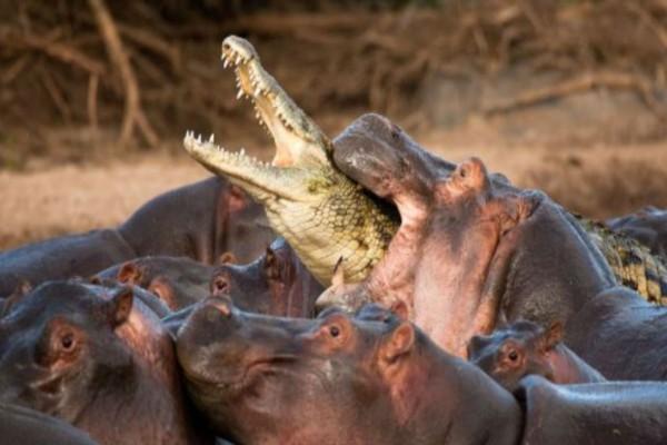 Αγέλη ιπποπόταμων επιτίθεται σε κροκόδειλο που έχει εισβάλει στο χώρο τους