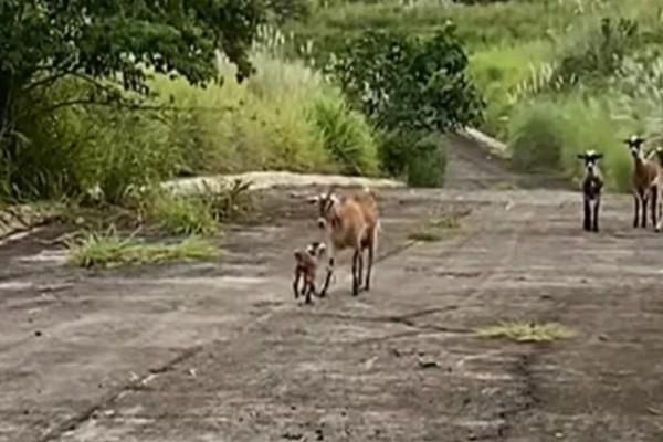 Χαμένο κατσικάκι επιστρέφει στην αγκαλιά της μαμάς του και το βίντεο προκαλεί συγκίνηση