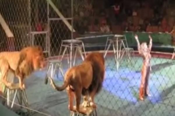 Όλα πήγαιναν καλά μέχρι που το λιοντάρι αριστερά θόλωσε. Σοκαρισμένος ο κόσμος έτρεχε να σωθεί (video)