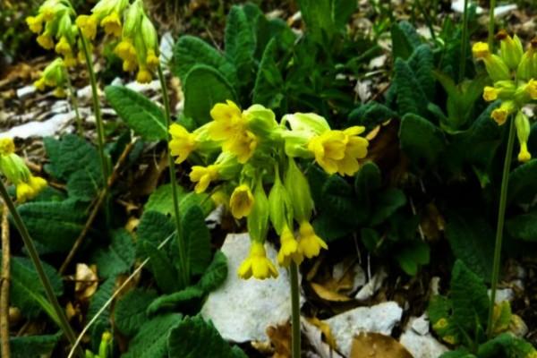 «Λουλούδι του Δαρβίνου»: Το φυτό της ελληνικής γης που αξίζει χρυσάφι
