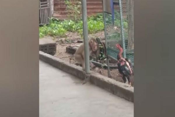 Επική μάχη μαϊμούς εναντίον ενός... κόκορα!