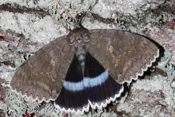 Φρίκη στο Τσερνόμπιλ: Επιστήμονες ανακάλυψαν πεταλούδα σε μέγεθος... πουλιού