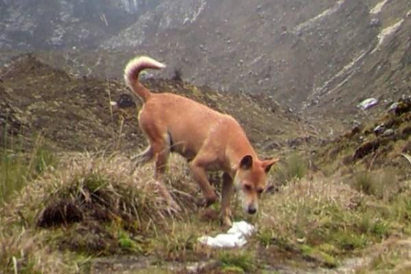 Απίστευτο: Η πιο σπάνια και αρχαία ράτσα σκύλου στον κόσμο, εμφανίστηκε ξανά στην άγρια φύση. Άφωνοι οι επιστήμονες!