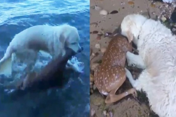 Σκύλος ήρωας βουτάει στο νερό και σώζει τη ζωή μικρού ελαφιού την στιγμή που πνιγόταν