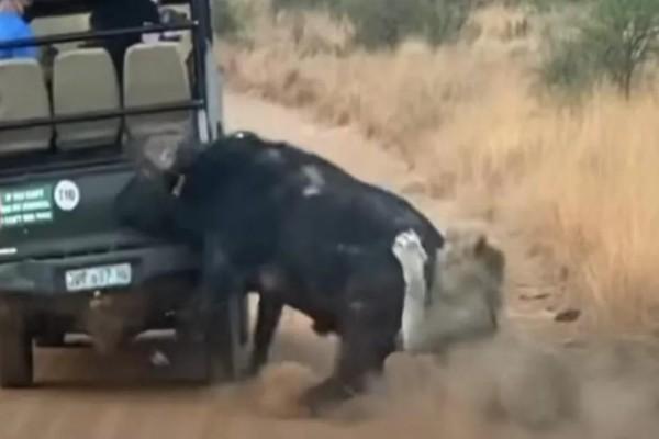 Βούβαλος ήρθε αντιμέτωπος με ένα λιοντάρι αλλά αυτό που έγινε μετά θα σας εκπλήξει (video)