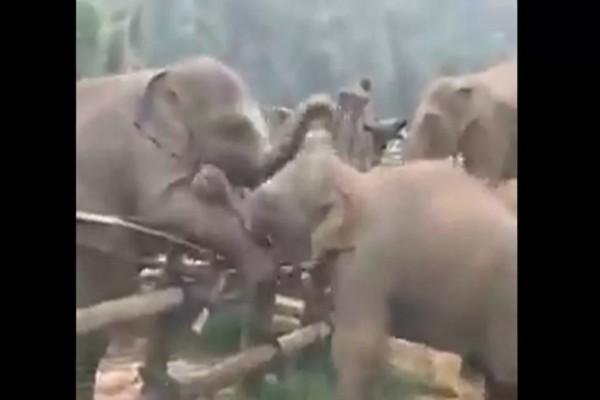 Ελεφαντάκι βοηθάει το φιλαράκι του να ξεφύγει - Η συνέχεια θα σας εκπλήξει (βίντεο)