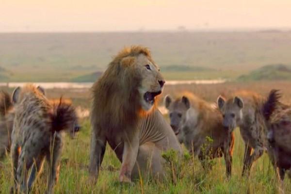 Ύαινες επιτίθενται σε λιοντάρι - Η στιγμή που τις έκανε να τρέξουν μακριά (βίντεο)