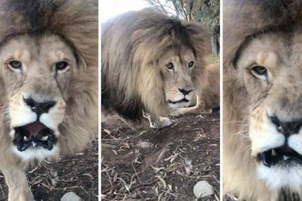 Πήρε το ρίσκο για ένα τετ α τετ με λιοντάρι - Δείτε τι κατέγραψε η κάμερά του (Video)