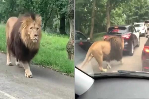 Λιοντάρι κάνει βόλτες ανενόχλητο σε... πάρκινγκ (βίντεο)