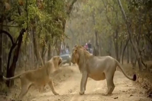 Ερωτικό καβγαδάκι: Λέαινα ρίχνει χαστούκι σε ένα Λιοντάρι - Η συνέχεια θα σας εκπλήξει