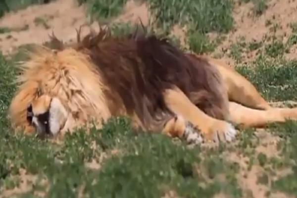 Όταν ο Βασιλιάς της Ζούγκλας... κοιμάται του καλού καιρού (βίντεο)