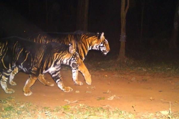 Απίστευτο: Αυτή είναι η πιο σπάνια τίγρης που υπάρχει στον κόσμο (βίντεο)