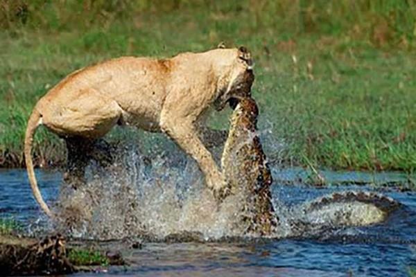 Μάχη μέχρι θανάτου: Κροκόδειλος επιτίθεται σε λιοντάρι και… Αντέχεις να το δεις;