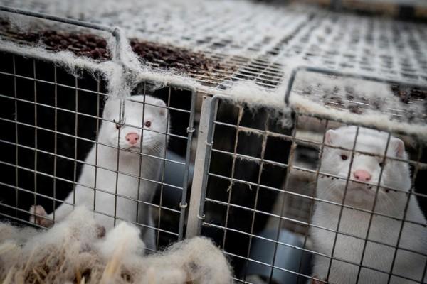 Κορωνοϊός: Πλήθος κρουσμάτων σε μονάδες εκτροφές μινκ - Ποιες περιοχές αντιμετωπίζουν το πρόβλημα