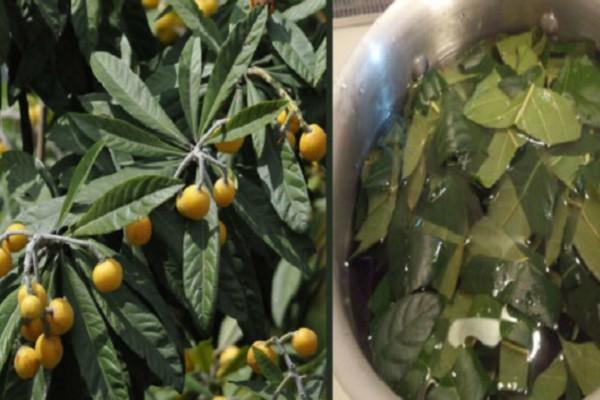 Φύλλα Μουσμουλιάς: Οι μυστικές θεραπευτικές τους ιδιότητες για το διαβήτη, το δέρμα & το πάγκρεας