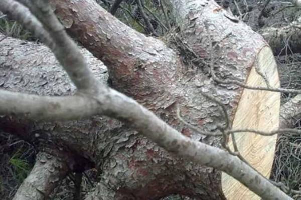 Σοκ στην Εύβοια: Νεκρός άνδρας που καταπλακώθηκε από δέντρο