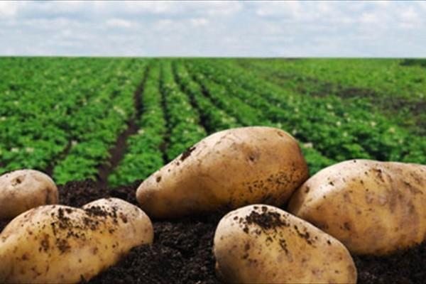 Πατάτες: ωφέλιμες, βλαβερές, παχυντικές ή όχι;