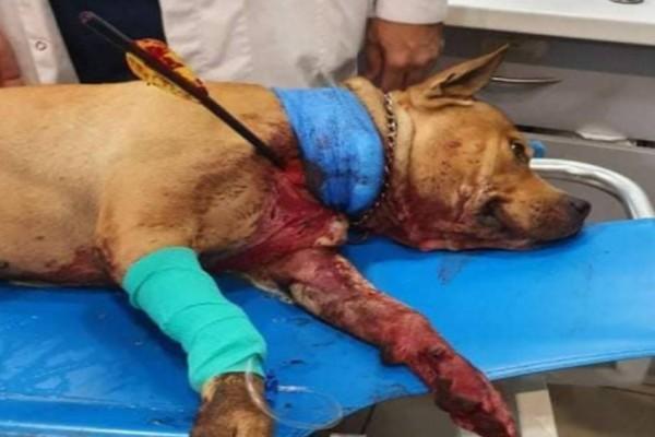 Χτύπησαν με βέλος σκύλο στην Πετρούπολη - Νοσηλεύεται σε κρίσιμη κατάσταση