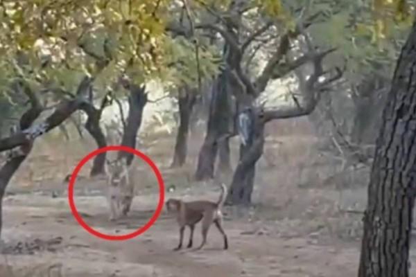 Ηρωικός σκύλος πήρε λιοντάρι στο κυνήγι: Αδέσποτο τα έβαλε με τρομερή λέαινα (video)