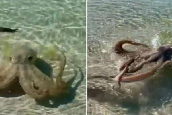 Αυστραλία: Χταπόδι επιτέθηκε άγρια σε άνδρα που κολυμπούσε (Video)