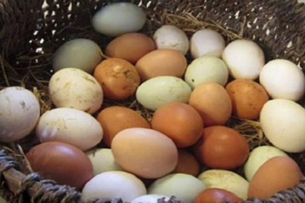 Έτσι θα γεννάνε οι κότες ασταμάτητα: Μυστικά διατροφής για πολλά αυγά