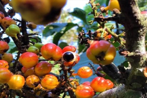 Αυτό είναι το φρούτο με περισσότερη καφεΐνη από τον καφέ