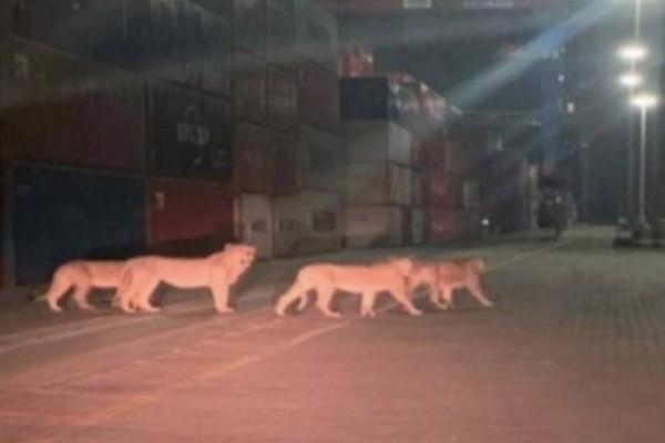 «Λιοντάρια δραπέτευσαν στο λιμάνι του Πειραιά»: Fake News ή πραγματικότητα;