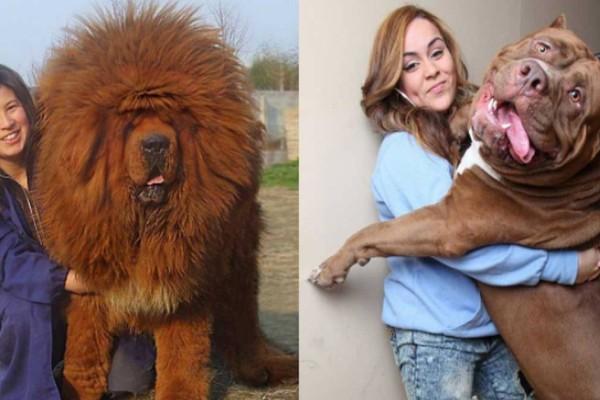 Αυτά είναι τα 5 μεγαλύτερα σκυλιά-φύλακες του κόσμου!