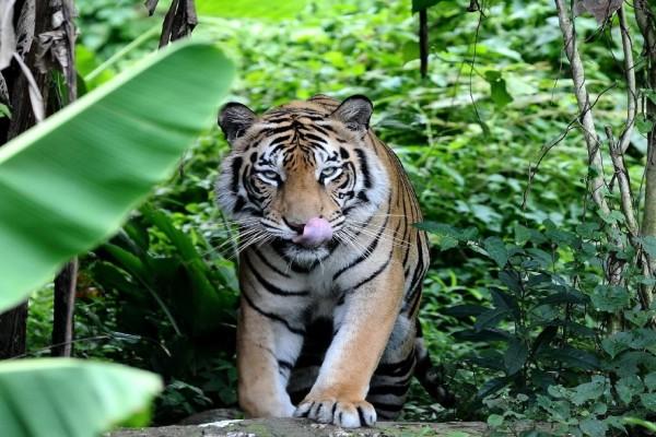 Σπάνια χρυσή γάτα βρέθηκε στην Ασία!