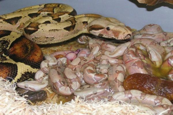 Φίδι γεννάει τα μικρά του: Ένα θέαμα που θα σας ανατριχιάσει!