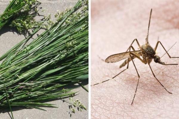 Θαυματουργό: Αυτό το φυτό απωθεί τα κουνούπια!