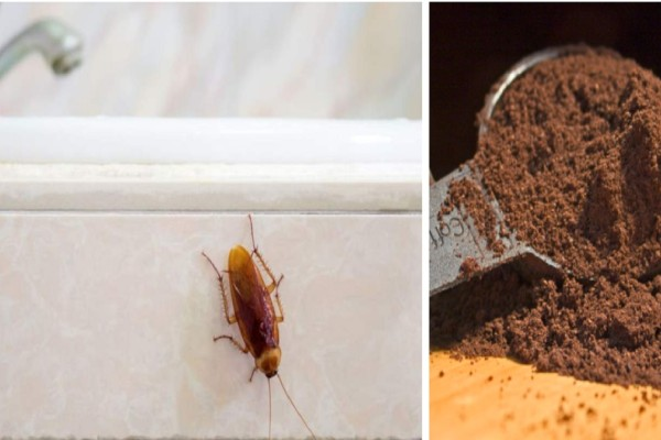 Κατσαρίδες στο σπίτι λόγω... ζέστης και υγρασίας - Το κόλπο με τον καφέ για να τις διώξετε
