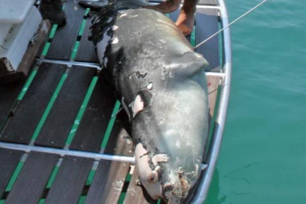 Αλόννησος: Νεκρός ο «Κωστής», η φώκια «μασκότ» του νησιού - Τη σκότωσαν με ψαροντούφεκο