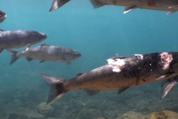 Απίστευτο: Σολομοί βράζουν ζωντανοί μέσα σε ποτάμι λόγω υψηλών θερμοκρασιών (video)
