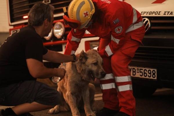 Ραγίζουν καρδιές εικόνες από την Βαρυμπόμπη: Συγκλονιστικές εικόνες από ζώα που προσπαθούν να γλυτώσουν από την πύρινη λαίλαπα!