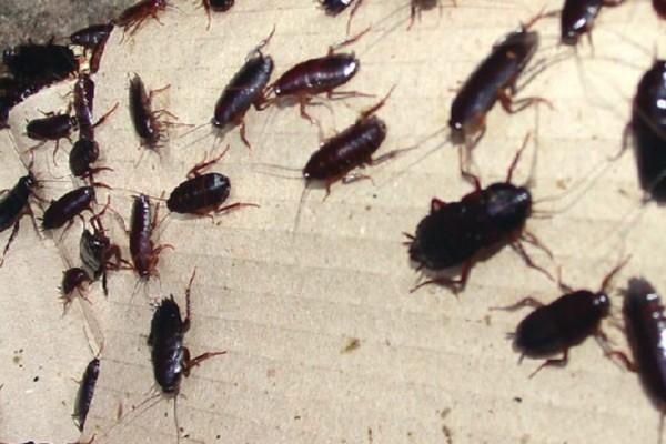 Απαλλαγείτε από τις κατσαρίδες με… μαγειρική σόδα