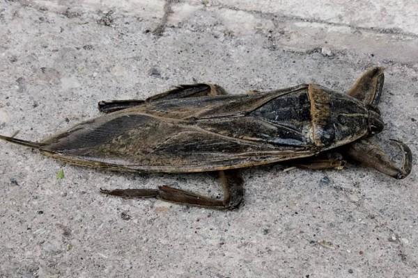 Λιθόκερος: Γιγάντιο δηλητηριώδες έντομο αναστάτωσε τη Λάρισα