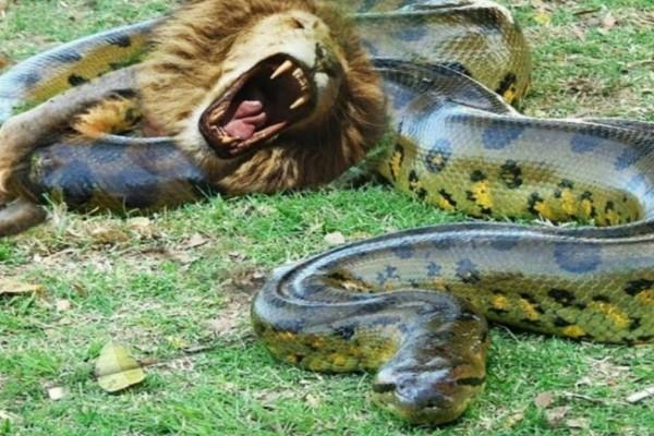 Θανάσιμη μάχη: Λιοντάρι εναντίον... ανακόντα (Video)