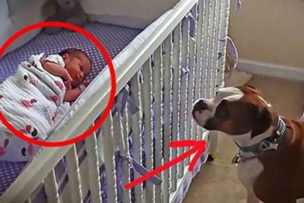 Σκύλος πλησιάζει το μωρό που κοιμάται στην κούνια - Η συνέχεια σοκάρει (Video)