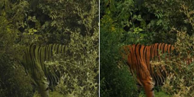 Μήπως οι τίγρεις δεν είναι πορτοκαλί αλλά... πράσινες; Δείτε τι ανακάλυψαν επιστήμονες και θα μείνετε άφωνοι!