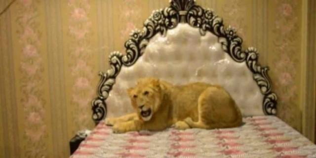 Τρόμος: Αυτό το λιοντάρι ζει σε σπίτι μαζί με το αφεντικό του - Τρώει 7 κιλά κρέας κάθε μέρα και κοιμάται στο κρεβάτι