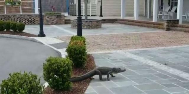 Αυτός ο κροκόδειλος βρήκε ευκαιρία και... πήρε τους δρόμους - Μόλις δείτε τον τελικό προορισμό του θα μείνετε άφωνοι!