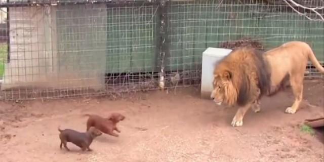 Άφησαν 2 κουτάβια μέσα στο κλουβί με το λιοντάρι -  Δείτε την αντίδραση του άγριου ζώου που έγινε παγκόσμιο viral