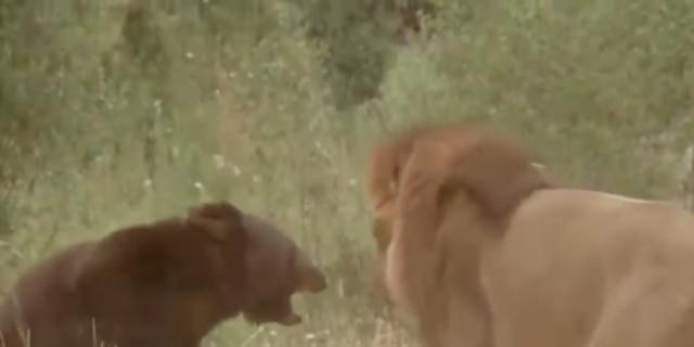 Λιοντάρι παίρνει στο «κυνήγι» μια αρκούδα - Όταν μάθετε το λόγο θα συγκινηθείτε