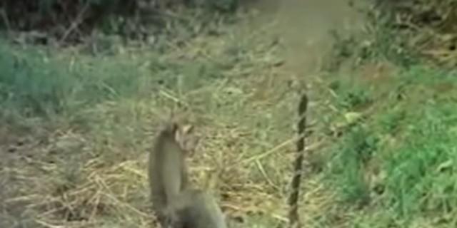 Ηρωϊκή μαϊμού τα βάζει με βασιλική κόμπρα ενώ είναι δεμένη - Η έκβαση της μάχης θα σας ανατριχιάσει