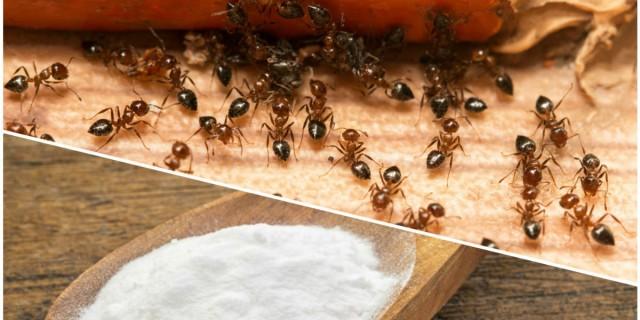 Εξαφανίστε τα μυρμήγκια με μαγειρική σόδα - Θα