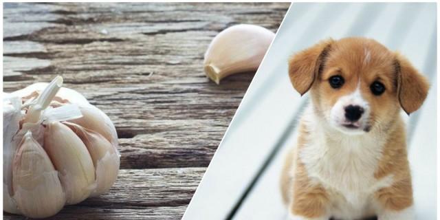 Πήρε μια σκελίδα σκόρδο και έτριψε την πλάτη του σκύλου του - Ο λόγος θα σας αφήσει άφωνους