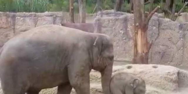 Ένα ελεφαντάκι γλιστράει και πέφτει με την πλάτη του - Η αντίδραση της μαμάς του είναι επική (video)